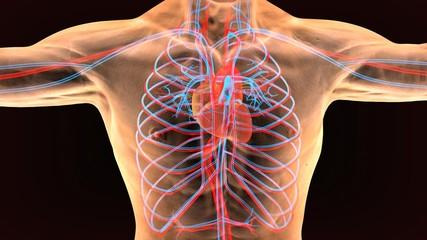 3d illustration of circulatory system