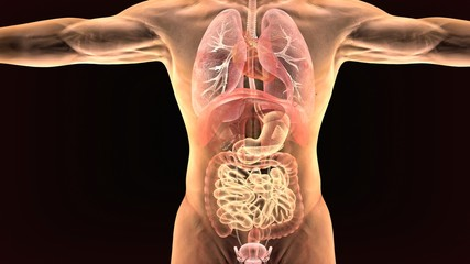 3d render of human body digestive system
