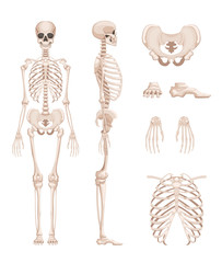 Vector illustration of human skeleton in different sides. Bones of arms, legs. Skull