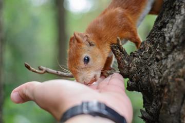 The boy feeds Squirrel on hazelnuts