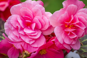 closeup of pink begonia flower