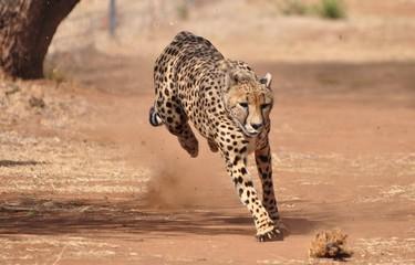 Cheetah exercising Wall mural