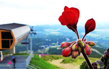 Ornamental flowers in the High Tatras
