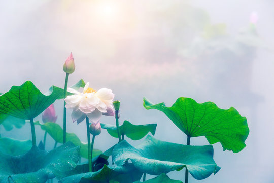 Blooming lotus flower and mist natural landscape