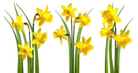 Poster Narcisse Daffodils isolated on white