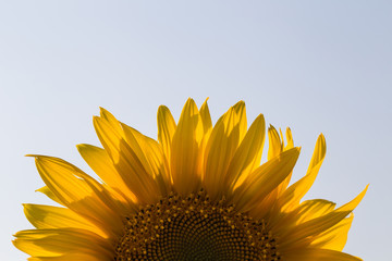 close up of sunflower on field