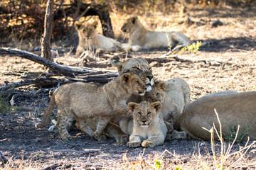 Wild lion family