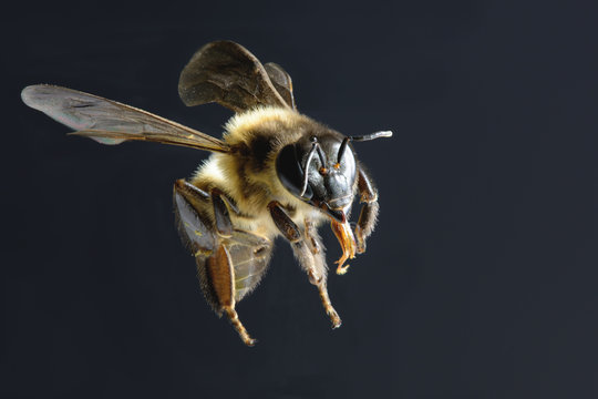 a bee Flying Isolated on black background