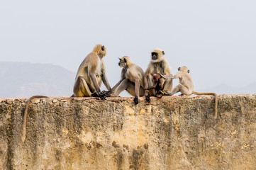 Monkeys onver the Amber Palace in Jaipur, India