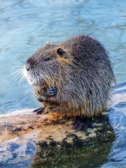 Shivering Beaver