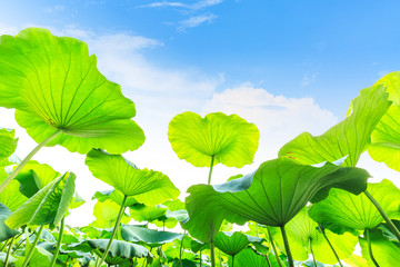 Green lotus leaf grows in pond,low angle shot