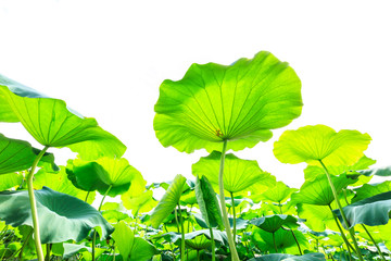 Green lotus leaf on a white background,low angle shot
