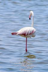 Flamingo in the ocean
