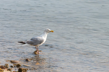 Gull standing on the shore, legs in the sea