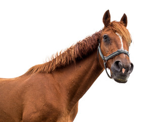 Bay horse on white background