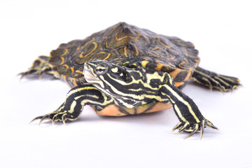 Ringed map turtle, Graptemys oculifera