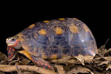 Red-footed tortoise, Chelonoidis carbonaria