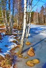 Birch grove at winter