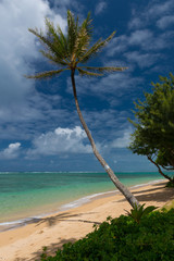 Coconut Palm Tree at a Hawaiian Beach, O'ahu