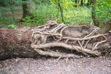 verwuzelter umgestürzter Baumstamm an einem Wanderweg
