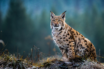 Photo on textile frame Lynx Eurasian lynx, snow, winter