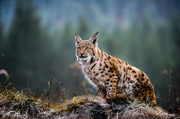 Eurasian lynx, winter Wall mural