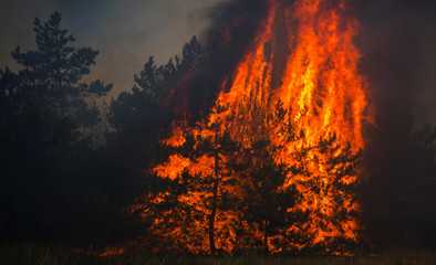 wildfire , burning pine forest .