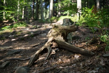 Magic trees and paths in the forest. Slovakia