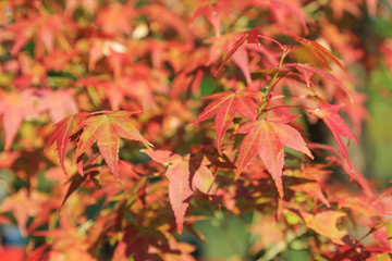 Natural background of Japanese maple leave close up in autumn season at Kyoto, Japan