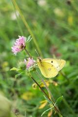 Butterfly on clover grass.