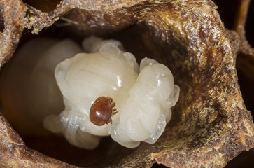 Varroa destructor on a queen honeybee pupa