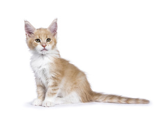 Creme and white Maine Coon cat kitten sitting isolated on white