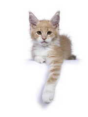 Creme and white Maine Coon cat kitten lying isolated on white