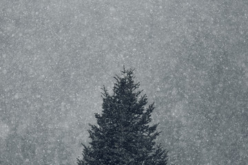 close up detail during snowfall on a pine