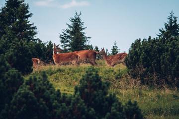 Deers in Krkonoše