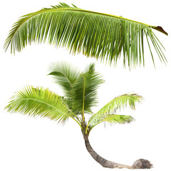 Palm Tree on white background, isolated