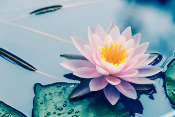 waterlily blooming in the pond,beautiful natural plant