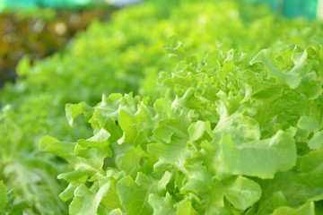 Selective focus of organic hydroponic vegetable farm on deck building,food or agriculture concept.