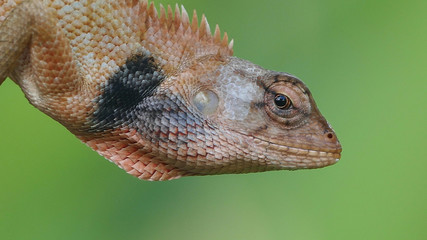 Head shot closeup of lizard