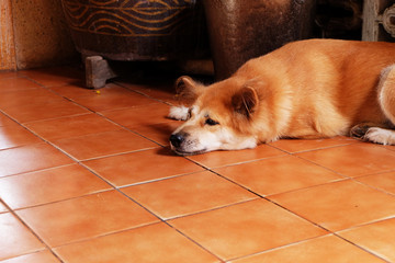 A Bored Dog, Close Up Canine on Wooden Floor of the House Background Great For Any Use.