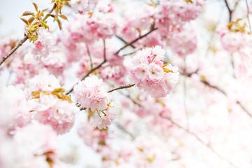 close up of pink cherry blossom-sakura