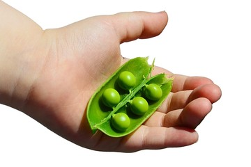 Child hand holding opened clove of pea Pisum Sativum with five peas in palm, white background.