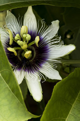 Sunlight, flowers, a beautiful structure going inside the sea. A wonderful view of a summer day. South american flower macro shoot. Beautiful passiflora with shades of white and purple.