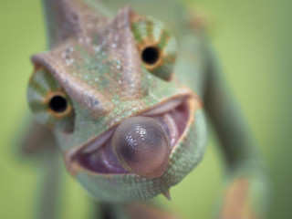 chameleon sticks out its tongue. Moment of the hunt.