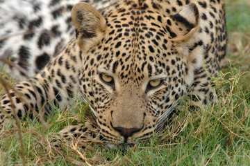 Close up of male Leopard face