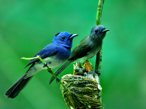 Parents of Black-naped monarch flycatcher (Hypothymis azurea) beautiful blue birds perching on nest guarding their baby chicks in feeding season, happy nature family
