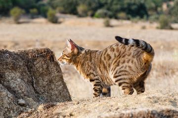 Gato de Bengala, Bengali, observando sobre montículo de tierra.
