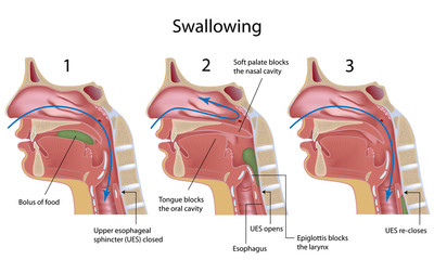 Swallowing reflex, labeled.