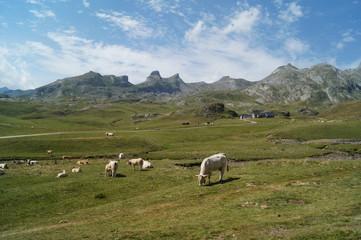 vaches, vache, Pyrénées, lac, mottante, verte, pic, cabas, ossau