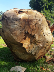 Photo of lying felled tree